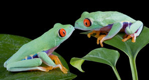 Kissing Tree Frogs Royalty Free Stock Photos