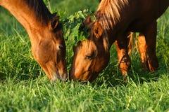 Kissing under the misletoe. Two horses kissing under the mistletoe Stock Photo