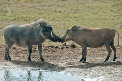 Kissing warthogs Stock Photo