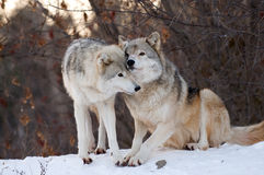 Kissing Wolf. A wolf walking around his territory and touching is female