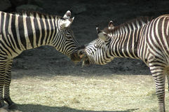 Kissing zebra horses Royalty Free Stock Photos