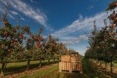 Kisten im Apfelgarten mit den Bäumen bereit zur Ernte lizenzfreies stockbild