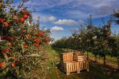 Kisten im Apfelgarten mit den Bäumen bereit zur Ernte stockfotos