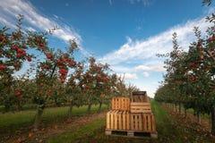 Kisten im Apfelgarten mit den Bäumen bereit zur Ernte lizenzfreies stockfoto