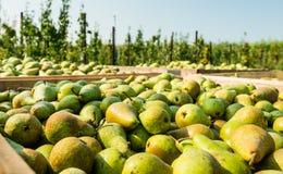 Kisten mit ausgewählten Birnen im Obstgarten stockfotografie
