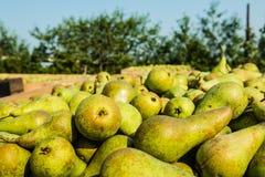 Kisten mit ausgewählten Birnen im Obstgarten stockbild