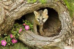 Kit de renard gris dans le rondin Photos libres de droits