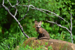 Kit de renard rouge de bébé posant pour le portrait Photo libre de droits