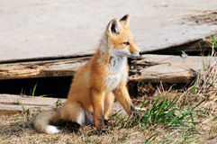 Kit del Fox rojo del bebé cerca de la guarida Fotografía de archivo