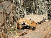 Kit di Fox a gioco fotografia stock libera da diritti