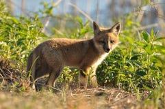 Kit di Fox rosso Immagini Stock Libere da Diritti
