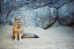 Kit Fox Image stock