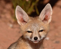Kit Fox A Bit Suspicious Stock Image
