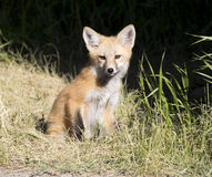 Kit fox in grass  with black background Stock Photos