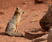Kit Fox Mother Looking Away From Den. A Kit Fox mother gazing out at the desert away her den in Utah Royalty Free Stock Photo
