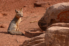 Kit Fox Outside Den Royaltyfri Foto