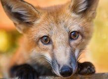 Kit Fox Portrait Lizenzfreies Stockfoto