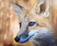 Kit Fox Portrait Lizenzfreie Stockfotografie