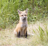 Kit fox posing for camera in grass looking straight Royalty Free Stock Photo