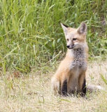 Kit fox posing for camera in grass looking to the side Stock Photo