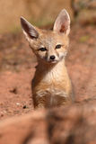 Kit Fox Pup Alone. And Curious Outside Its Den In Utah Stock Photo
