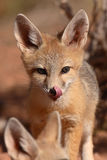 Kit Fox Puppy Licking Nose. A Kit Fox puppy licking its nose at it looks around its den in Utah Royalty Free Stock Images