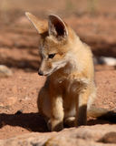 Kit Fox Puppy Looking Down. A Kit Fox puppy looking down outside of its den in Utah Stock Photography