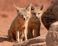 Kit Fox Puppy and Mother. A Kit Fox puppy and its mother outside of their den in Utah Stock Photography