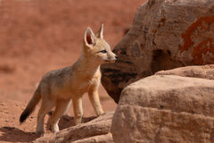 Kit Fox Puppy On The Rocks. A Kit Fox puppy playing on the rocks outside of its den in Utah Royalty Free Stock Images