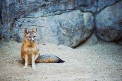 Kit Fox. Fox Species of North America. (Vulpes Macrotis stock image
