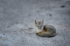 Kit fox stare. A kit fox stares into the camera after bedding down for a nap in the desert near Zabriskie Point in Death Valley national park, California Stock Photography