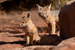 Kit Foxes Outside Den. A pair of Kit Foxes outside their den in Utah Royalty Free Stock Image