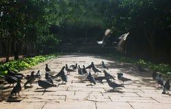 Pigeon Invasion Royalty Free Stock Photos