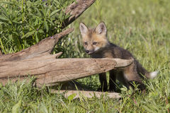Kit red Fox. Standing by log Royalty Free Stock Image