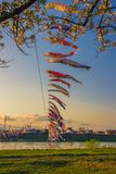Kitakami,Iwate,Tohoku,Japan on April 26,2018:Carp streamers or koinobori over the Kitakami River and cherry blossoms at Tenshoch. Tenshochi is located by the stock images