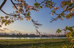 Kitakami,Iwate,Tohoku,Japan on April 26,2018:Carp streamers or koinobori over the Kitakami River and cherry blossoms at Tenshoch. Tenshochi is located by the royalty free stock image