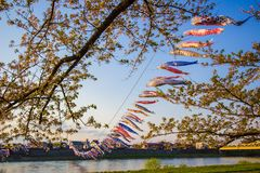 Kitakami,Iwate,Tohoku,Japan on April 26,2018:Carp streamers or koinobori over the Kitakami River and cherry blossoms at Tenshoch. Tenshochi is located by the royalty free stock photos