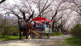 Kitakami Tenshochi Park cherry blossoms Matsuri festival in springtime