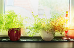Kitchen cooking herbs in flowers pot on window still royalty free stock photo