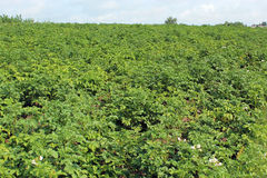 Kitchen garden of the big plants of potato Stock Image