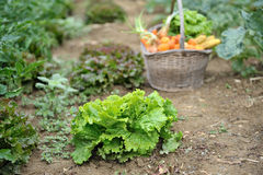 Kitchen garden five. Picking of vegetables in the garden Royalty Free Stock Photo