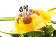 Kitchen garden physalis plant Stock Photos