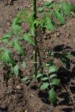 Planting of Tomato. Kitchen garden / Planting of Tomato stock photos