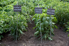 Kitchen Garden with Thai and sweet peppers. Picture of a kitchen garden, with thai pepper and sweet peppers species. Little signs with names of species are in Stock Photos