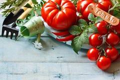 Kitchen garden tomatoes. Stock Photos