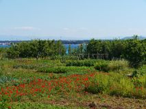 A kitchen garden with vegetables and red poppy flowers Royalty Free Stock Photography