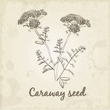 Kitchen hand-drawn herbs and spices, Caraway seed Royalty Free Stock Images