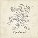 Kitchen hand-drawn herbs and spices, Peppermint. Stock Photo