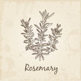 Kitchen hand-drawn herbs and spices,  Rosemary. Stock Image