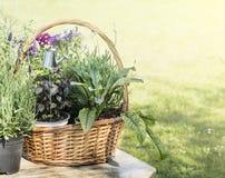 Kitchen herbs in brown basket, outdoor Stock Photos